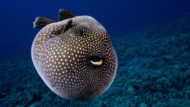 Pufferfishes are almost extinct. Scientist say pufferfishes might die out in the nwxt couple of months