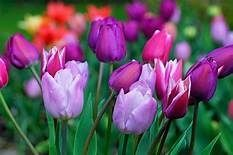 The truth behind the meaning of Tulips.